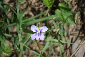 NB's provincial flower: Purple Violet