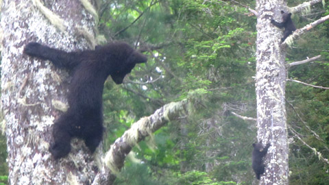 Young bears caught on camera by Kendall Sturgeon in the Cains River area last week.