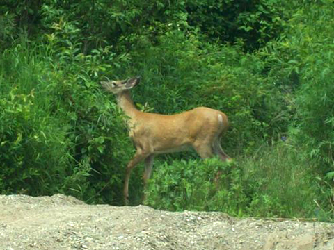 Deer at Wayerton July 9th, 2012. Photo by David Ingersoll