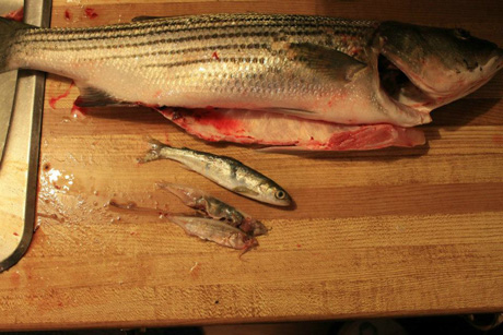 Smolt and brook trout from stomach of bass