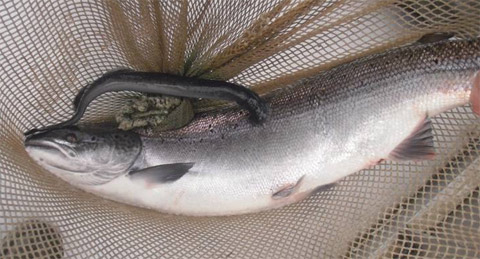 Lamprey Eel on a salmon at the Millerton Trapnet on the Main Southwest Miramichi
